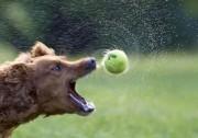 В погоне за теннисным мячиком... Ааамм!