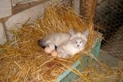 Кошки совершают переход от охоты к животноводству...