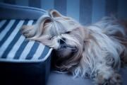 Венечка устал. Венечка удобно устроился и сладко спит. Нэйк Лан Ли (Веня) (от Наоми и Джина, 2011 г.р.)