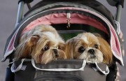 A couple pushes a pram containing three Shih Tzus as they arrive for the first day of the Crufts Dog Show in Birmingham