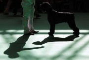 A Giant Schnauzer casts a shadow as it stands in the judging ring on the first day of the Crufts Dog Show in Birmingham