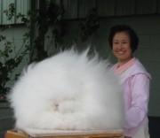 Это пушистый шар? Это ангорский кролик, от которого получают шелковистую и мягкую шерсть