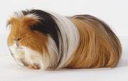 Морская свинка даже не задумывается о том, какая у нее прекрасная шерстка и модный окрас. В салоне немало времени придется провести, чтобы добиться такой расцветки