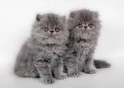 Девушки с жесткими волосами мечают о мягких и шелковистых волосах, а у котят шерстка как раз такая