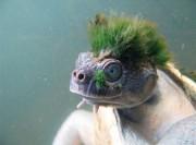 У редчайшей породы черепах ирокез естестественный и натуральный, он получается из водорослей, которые растут на голове