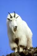 Гладкая и шелковистая шерсть горного козла заслуживают восхищения