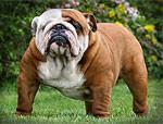 К чему привели 100 лет «улучшения» породистых собак