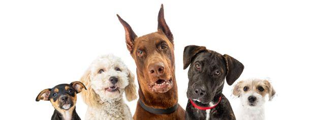 Собаки - чемпионы по разнообразию размеров и форм