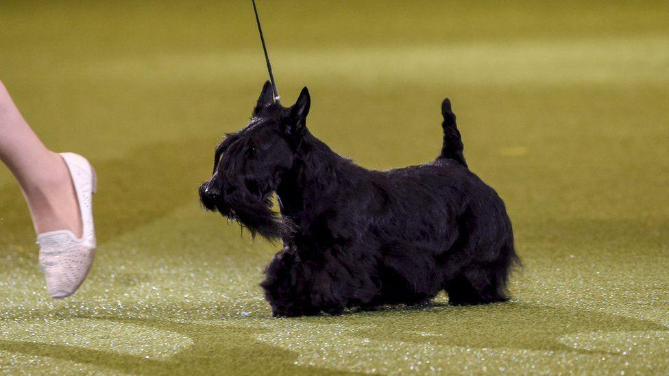 Трехлетний шотландский терьер Ева из России заняла первое место среди собак своей породы