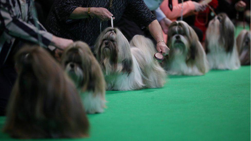 Собаки породы ши-тцу перед судьями