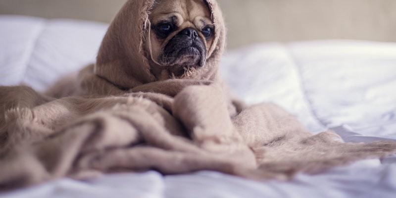 Человечество предупредили об угрозе собачьего гриппа